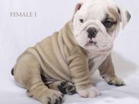 Amazing puppies available now for a great home,they