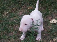 I have 3 beautiful bullterrier pups they will be ready