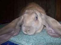 We have three English Lop rabbits for sale. Born