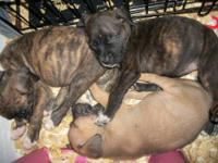 English Mastiff, Pit bull mix puppies for sale! This