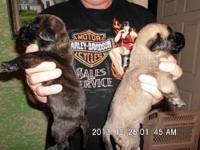 AKC ENGLISH MASTIFF PUPPIES, Fawn female, 1 brindle