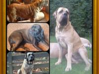 Akc English mastiff puppies. anticipating two litters