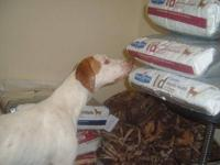 English Pointer - Sallie Mae - Large - Young - Female -
