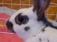 English Spot - Henry - Medium - Adult - Male - Rabbit
