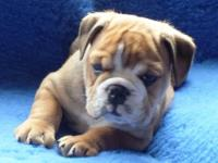 Animal Type: Dogs Breed: Bulldog englishb bulldogs and