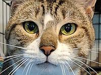 Enrique's story I am a dilute Tabby....little softer