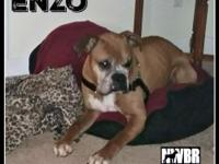 Enzo 9 yo male Fawn 50 pounds Female Dog Friendly No