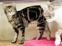 This tabby girl is Erica. She is 9 months old. She was