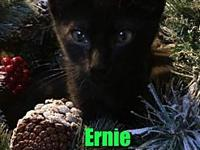 Ernie's story I am a sweet and lovable kitten who is