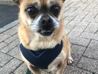 Meet Ernie!  Ernie is a 5 yo puggle with big eyes and a