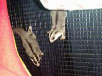 Espresso and Wheels are adult male sugar gliders. We do