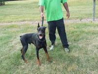We have trained dobermans & & german shepherds from