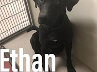 Ethan 114510's story Ethan is a 1 yr old lab mix. This