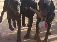 Born oct 26 European doberman black and rust 2 males 1