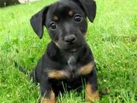 Euro Jack Russel puppies bred and raised for health,