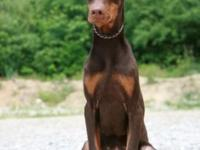 European Bloodlines Doberman Pinscher, Red & tan born