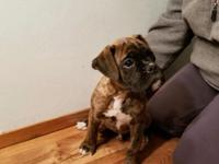 European Boxer Puppies.  11 Weeks Old, 1- male 2-