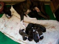 We have 9 stunning brindle fighter puppies that will be
