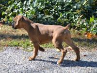 Full euro boxer pups available. 1 Flashy fawn female