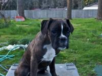 Incredibly sweet and cute European Boxer puppy for