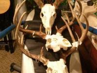 European Deer Mounts or any animal Bugs not boiled $50