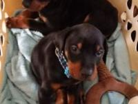 1 have a 7 week old European Doberman puppy looking for
