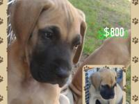 available for adoption big fawn Dane puppies with