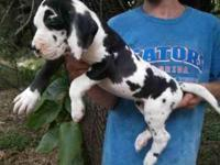 We have 7 beautiful Harlequin puppies out of our 7/8