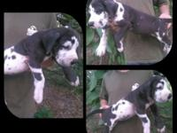 Remington Danes have several beautiful puppies
