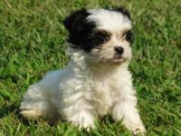 Eva is almost 8 weeks old. Her mother is a Morkie and