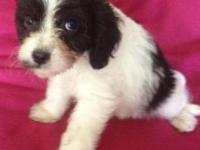Evan is a black and white CavaPoo. He has been vet