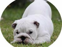 Animal Type: Dogs Breed: Bulldog Crate Trained English