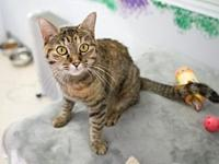 Eve's story 1 year old DSH Brown Tabby/Torbie Eve is a