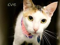 Eve's story You read it right, Siamese & Calico in one