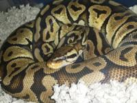 Eve is a 3 foot long young adult female Ball Python,