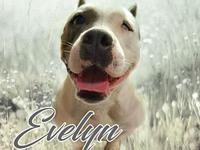 My story Evelyn is a 2 year old American Bully. She is