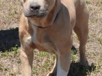 Everest is a large female Lab mix, tan and white in