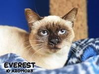 Everest's story Everest is a female Siamese that was