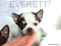Everett is a smaller sized male smooth coat Chihuahua.
