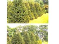 We grow, deliver, plant and sell Norway Spruce, White