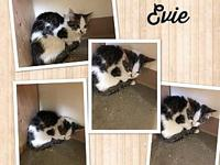 Evie's story Evie is about 13 weeks old, spayed,