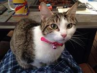 Evie's story 1 year old. Brown saddleback tabby. Doesnt
