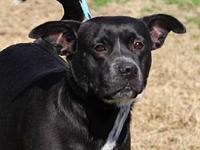 EVIE's story MEET EVIE! A 1-2 year old, female, pitbull