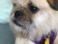 EWOK  Breed: Border Terrier/Brussel Griffon Mix |