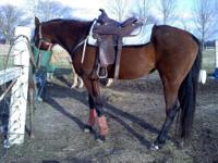 GREAT bay thoroughbred ex race horse. She has won lots