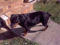 Excellent rottweiller puppy's to be born in September