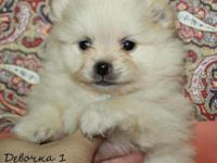 Excellent AKC Pomeranian Pup 15weeks old only serious
