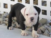 We have jut two akc registered english bulldog puppies