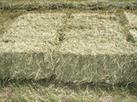 Fresh Cut Hay Grazer; Cut young and tender, excellent