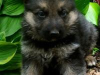 Excellent German Shepherd Dog  contact us via text